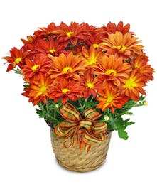 This brilliant bronze mum plant will help your recipient greet the autumn season with optimism.