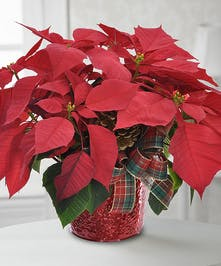 Poinsettia Plant Trumbull & Shelton (CT) Same-day Delivery