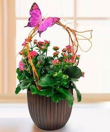 Blooming Sweet Kalanchoe