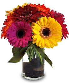 colorful Gerbera daisies