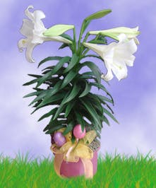 Easter Lily Plant Delivery Trumbull & Bridgeport (CT) City Line Florist
