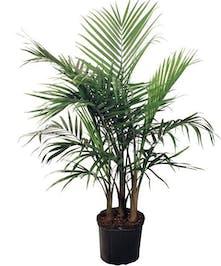 Majestic Palm 6-7 foot