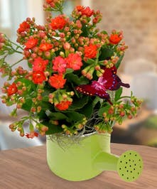 Live kalanchoe plant in a whimsical watering can