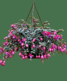 Hanging Fuschia Plant
