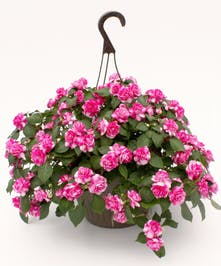 Impatient Hanging Basket