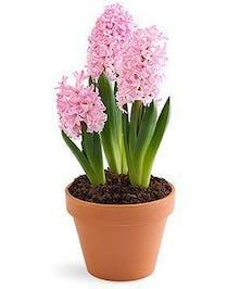 Fragrant Sign of Spring