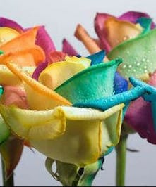 Over the rainbow roses