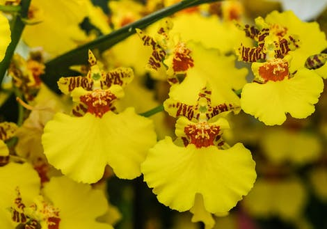 Close-up photograph of a rose representing oncidium