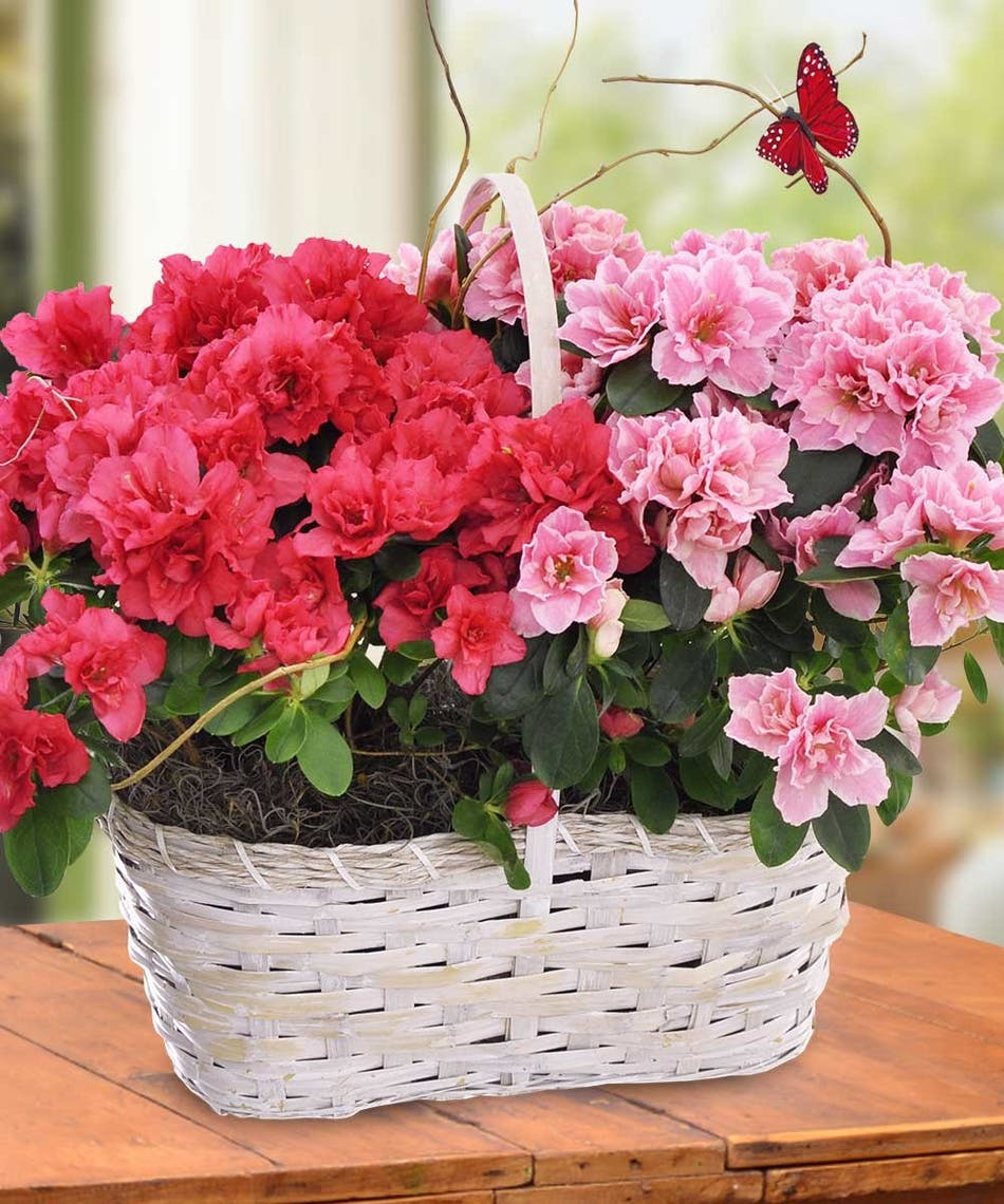 Double Azalea Basket: Double the Surprise! Nothing says spring is ...