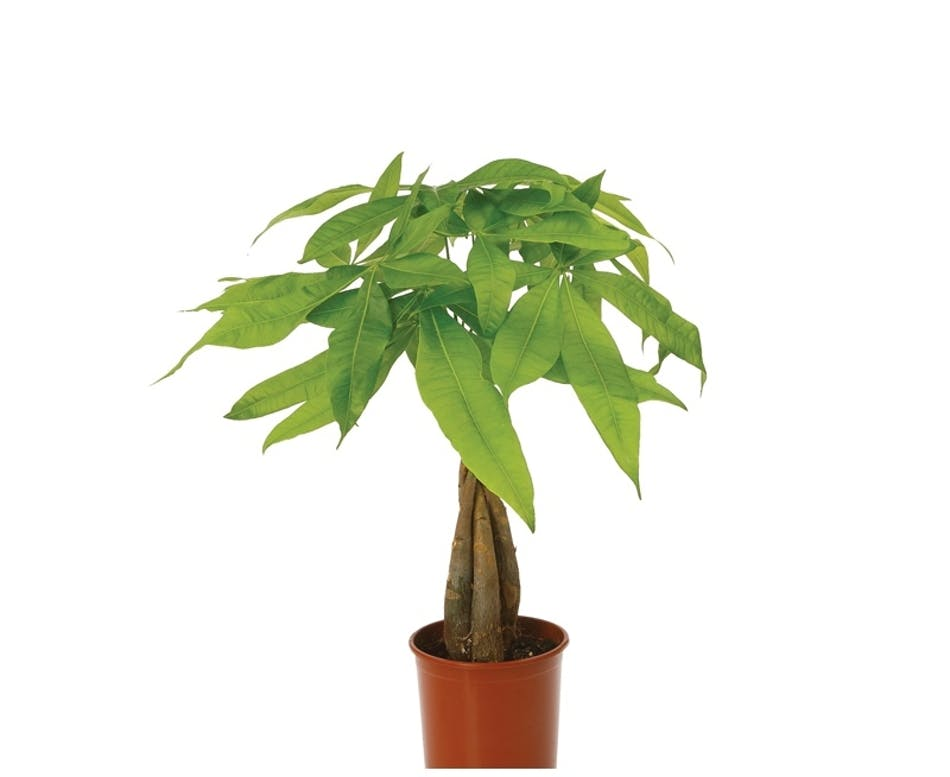 Money Tree 30 Quot Tall Good Fortune Good Luck Amp Prosperity