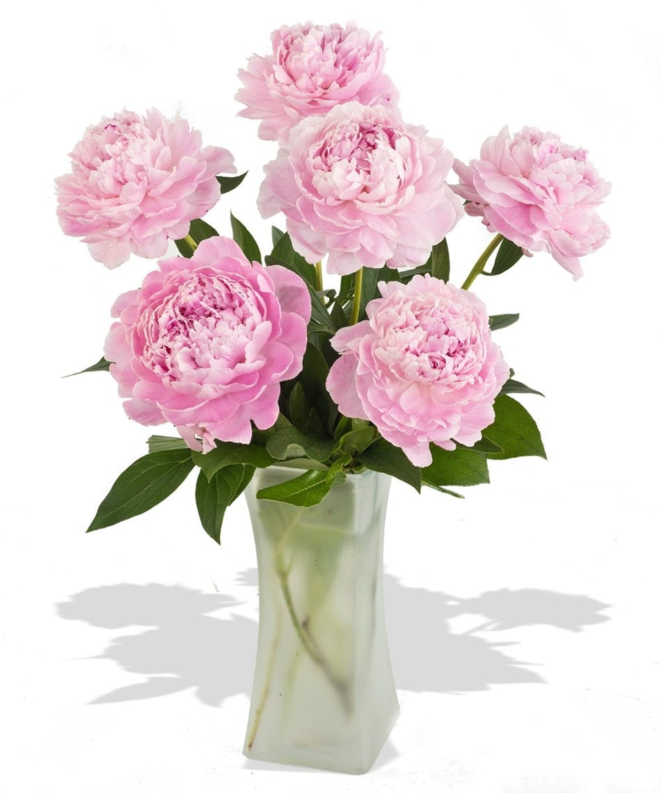 Crazy for peonies flower arrangement same day flowers by city line pink peonies in a frosted or leaf lined vase depending upon inventory they may mightylinksfo Gallery