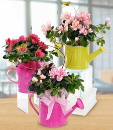 Azalea Watering Can