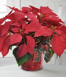 Traditional Poinsettia Plant