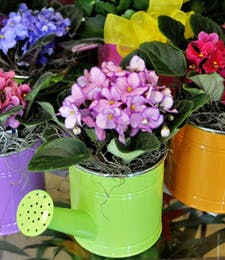 Best Value African Violets