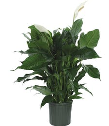 A Blooming Peace Lily